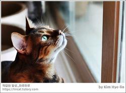 [적묘의 고양이]고양이 8살,뱅갈,도도홍단, 아무것도 하지 않음,격하게 하고 싶지 않을 때, 놀고 싶지만 몸이 따라주지 않을 때