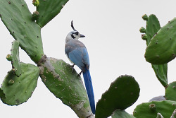White-throated Magpie-jay, 48cm