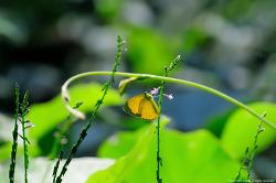 남방노랑나비
