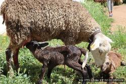 스페인에서는 양 떼가 목초지 이동 중 양이 새끼를 낳으면 어떻게 할까?