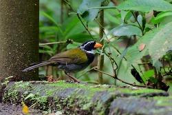 Orange-billed Sparrow, 15cm