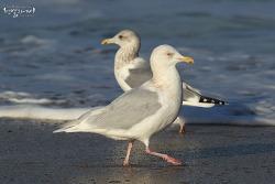 쇠흰갈매기 [Glaucous Gull]