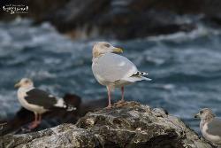 Hybrid Gulls - Glaucous Gull X Vega Gull (동해시 대진해변)