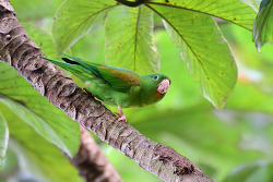 Orange-chinned Parakeet, 17cm