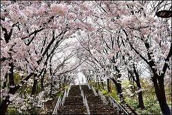( 대구 북구 ) 침산공원,침산정(오봉산) 벚꽃 터널