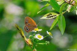 봄처녀나비