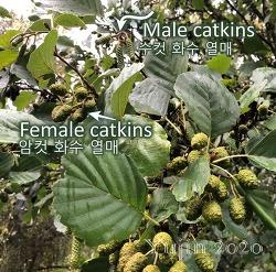 오리나무(Alder)의 의학적 식용효과 초간단 요약하기