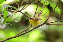 Rufous-capped Warbler, 13cm