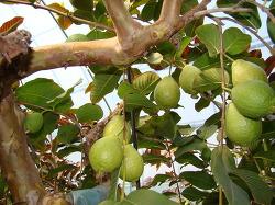 구아바-국가에 등록된 우수한 구아바 품종별 특성