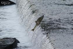 연어 [Salmon] 1