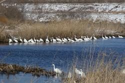 중대백로 [Great Egret]
