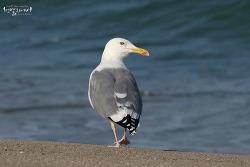 Mystery Gulls (Caspian Gull) ?