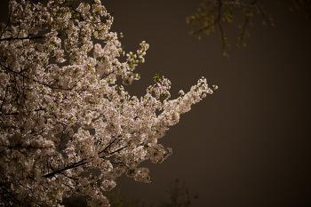 밤에 본 벚꽃
