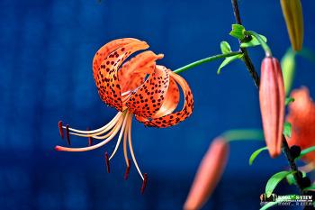 [Flower]참나리꽃