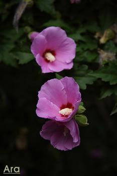 우리나라 꽃 무궁화
