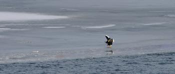 한강의 참수리 마음만은 피겨스케이팅 금메달 리스트^^ Steller's sea eagle #3