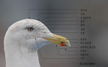 갈매기 머리의 부위별 명칭과 설명