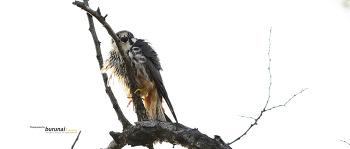 새홀리기 혹은 새호리기 #3 Eurasian hobby