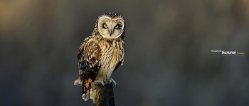 남한강 쇠부엉이의 날샷과 저속셔터가 주는 역동적인 모습 Short-eared Owl