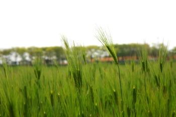 [고창여행] 고창 학원농장, 청보리밭 축제