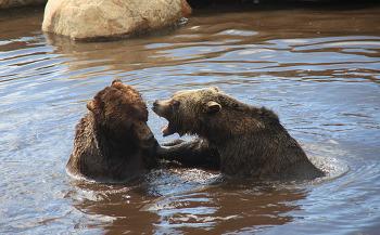 Grinder와 Coola, Grouse Mountain의 곰 두마리