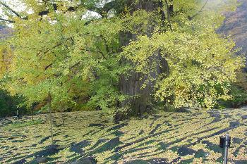 양평 용문사 은행나무