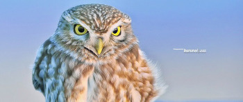 금눈쇠올빼미 Little owl #1