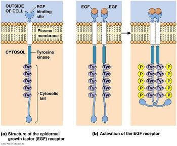 14장 수용체 티로신 인산화 효소 1