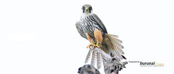 새홀리기 혹은 새호리기 #4 족보 Eurasian hobby