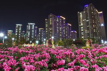밤에 피는 장미가 보석처럼 수놓는 창원 장미공원의 야경! ! (창원명소)