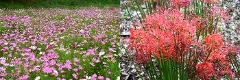 성당못 코스모스,중리 체육공원 꽃무릇 -개화시기를 잘 맞춰야 ( 9월 28일 )