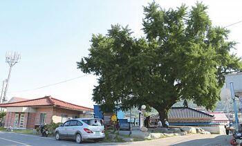 [회진면] 마을의 흉풍을 헤아리는 정자나무