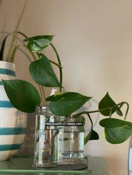 식물일기(~06.June) : 스킨답서스 가지치기&수경재배, 아레카야자와 필로덴드론 새순