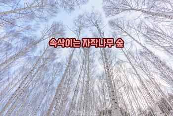 인제 원대리 속삭이는 자작나무 숲의 겨울