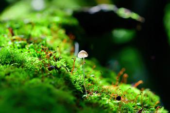 솜털맑은대버섯