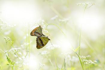 흰줄표범나비