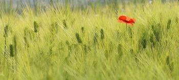 청보리밭과 꽃양귀비