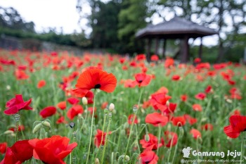 딱 지금 안가면 놓치는 제주의 꽃밭명소, 항몽유적지 비밀의 정원