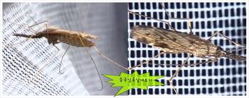 모기시리즈3-얼룩날개모기-말라리아