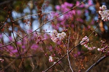 벚꽃이 핍니다.
