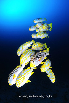 School of Sweetlips, Raja Ampat, Indonesia
