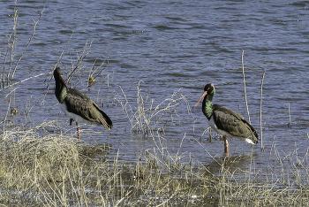 먹황새(Black Stork)