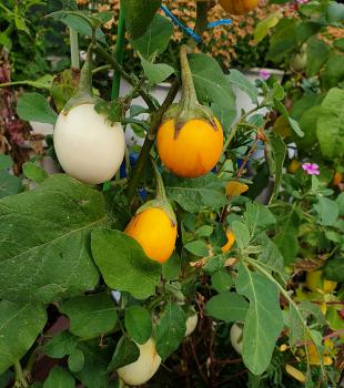 달걀과 탁구공을 닮은 열매를 보았어요!