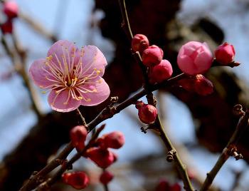 [죽풍의 시] 세상에서 가장 예쁜 낱말보다 더 아름다운 홍매화/시, 세상에서 가장 고귀한 홍매화/매화꽃말, '깨끗한 마음', '결백'/사군자 중 하나, 매화의 상징은 지조와 절개