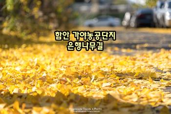 함안 은행나무길, 길 가득 노란 은행나무잎 카펫이 깔렸다