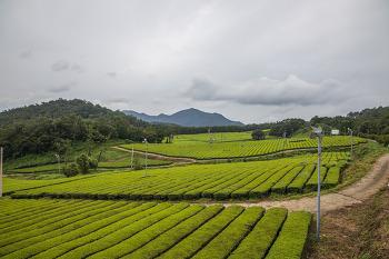 [강진] 전라도 강진 녹차밭, 설록다원