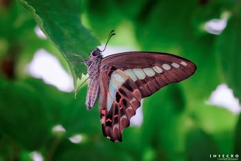 청띠제비나비 사육