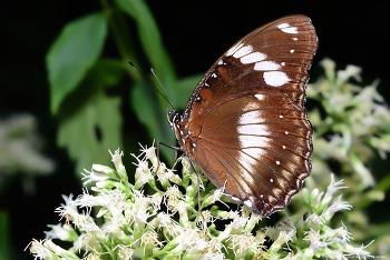 남방오색나비