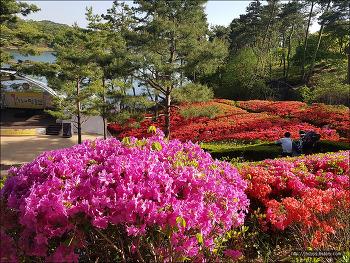 <청주> 봄꽃 여행(1)- 봄꽃명소 - 청남대