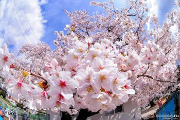 봄... 벚꽃